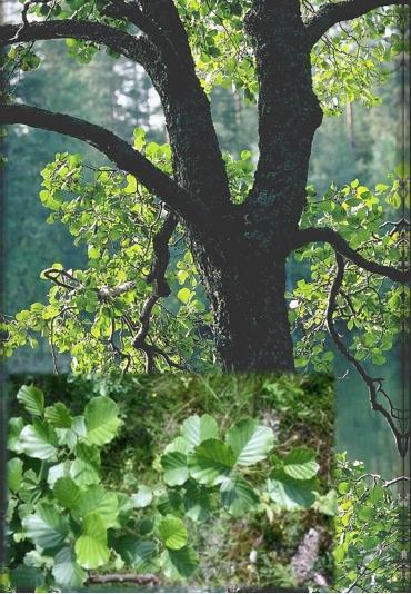 Suomen puut kuvina
